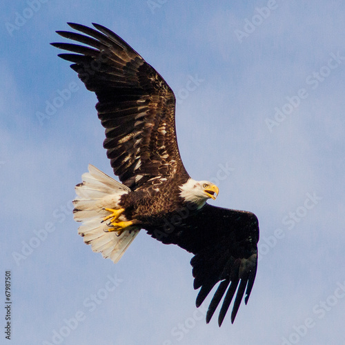 Spoed Foto op Canvas Eagle Young Eagle Flying