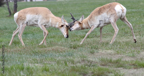 Photo  Ramming horn locked wild antelope