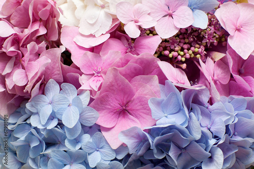 Wall Murals Hydrangea Beautiful hydrangea background