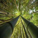 Bambusy rosnące w górę