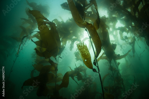 Tuinposter Koraalriffen Kelp Forest in California