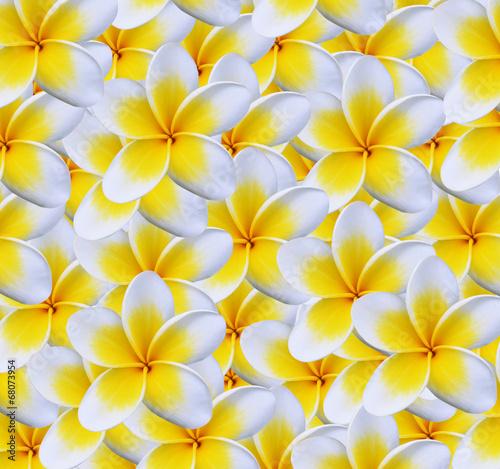 Foto op Canvas Frangipani Frangipani flower isolated on white