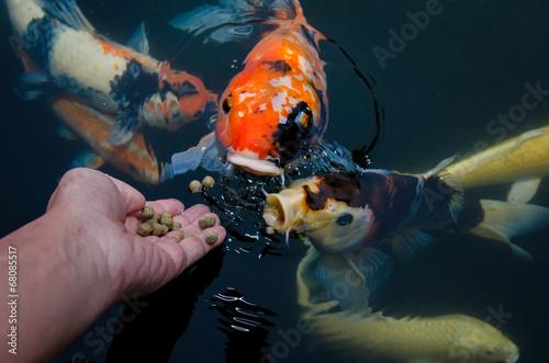 Fotografija Feeding koi carp by hand