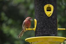 Male House Finch Sitting At A Bird Feeder