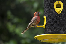 Male House Finch Sitting At A Bird Feeder