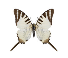 Tropical Butterfly Collection Graphium Eopheates