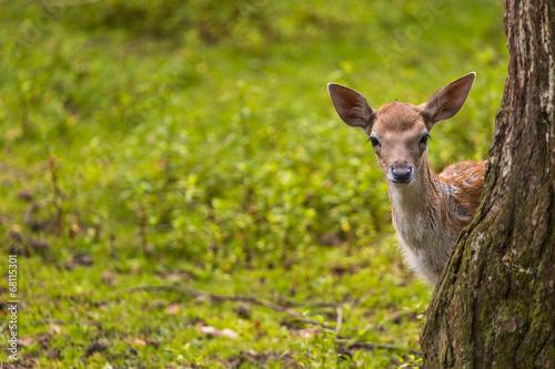 Poster Deer Close-up fallow deer in wild nature