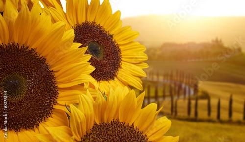 In de dag Zonnebloem Tuscany sunflowers