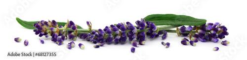 Poster Lavande Lavendel