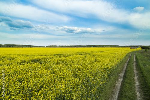 Aluminium Prints Yellow Rapeseed, canola crops field at spring.