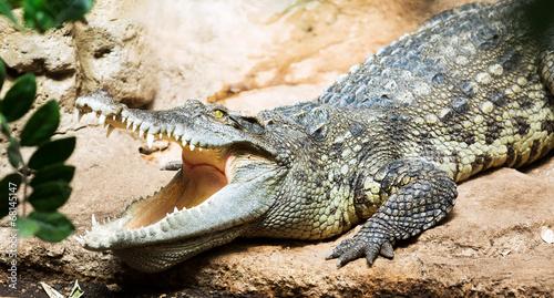 Papiers peints Crocodile Siamese freshwater crocodile
