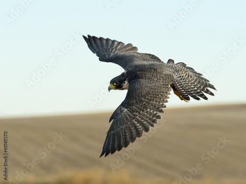 Fotografia Soaring Falcon