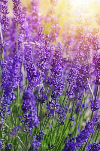 Cadres-photo bureau Lavende Garden lavender flowers