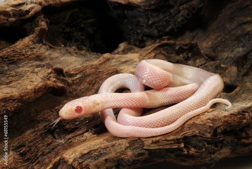 Fototapeta Kornnatter  (Pantherophis guttatus) Albino Blizzard