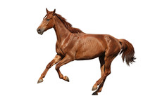 Brown Horse Cantering Free Isolated On White