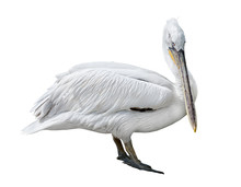 Large Pelican Isolated On White