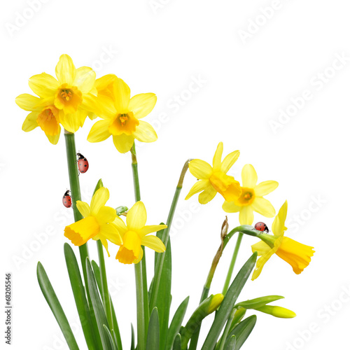 Deurstickers Narcis Yellow daffodil flowers and ladybugs