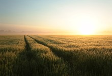 Sunrise Over A Field Of Grain In Foggy Weather