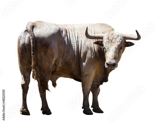 Big gray bull, isolated over white