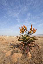 Mountain Aloe In Flower