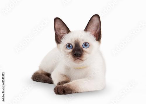 Thai cat on white background