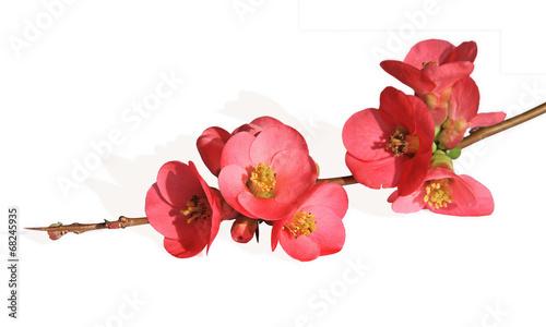 Foto fleur de cognassier du Japon