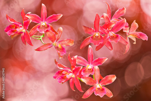 Red cattleya orchid isolated on red