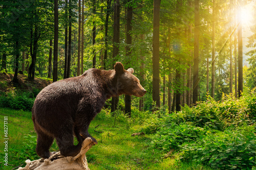 Fotomural  curious little bear in the forest