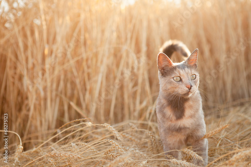 Photo  Cat in field of wheat