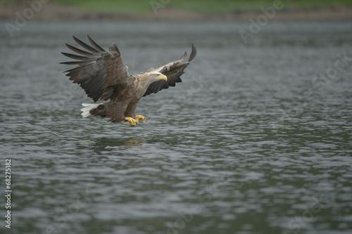 Garden Poster Eagle Hunting Sea Eagle