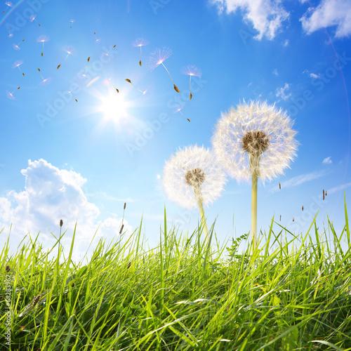 piekne-ujecie-dmuchawcow-wraz-z-nasionkami-na-kwitnacej-polanie-pod-blekitnym-slonecznym-niebie