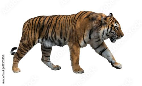 In de dag Tijger isolated on white striped tiger