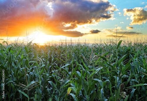Fotografía  Corn field