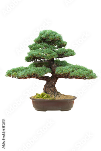 In de dag Bonsai japanese bonsai tree isolated pinus parviflora
