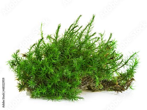 Fotografie, Obraz  Green moss isolated on white background