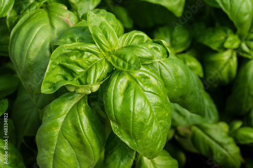 Fotografie, Obraz  Basil plant with green leaves