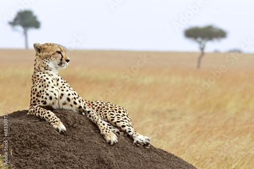 Cuadros en Lienzo Cheetah en el Masai Mara en Kenia, África.