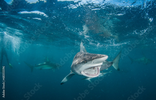 Photo Tiger Shark with blacktip sharks
