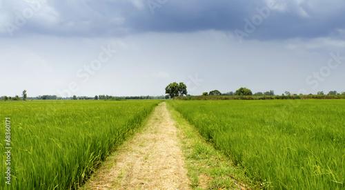Foto op Plexiglas Weide, Moeras Rice field