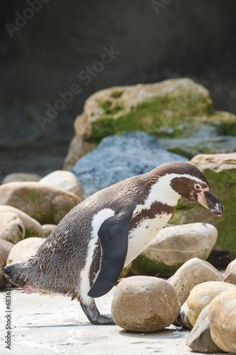 Door stickers Penguin Humboldt pinguïn, Sphenicus humboldti, Zuid-Amerika