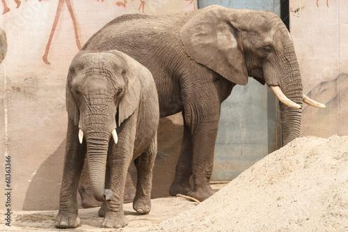 Foto auf AluDibond Elefant Afrikaanse olifant met kalf