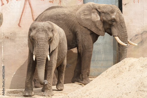 Photo Stands Elephant Afrikaanse olifant met kalf