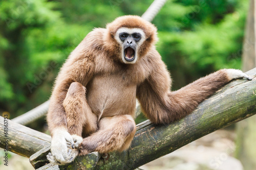 Canvas Prints Monkey Gibon