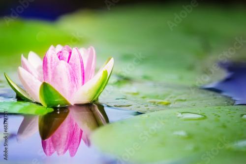 Foto op Canvas Waterlelies Seerose im Gartenteich