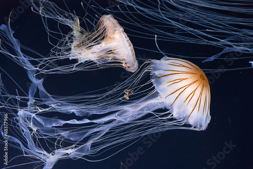Fotografie, Obraz  Medúzy plavání v oceánu