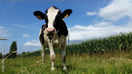 Wall Murals Cow Vache