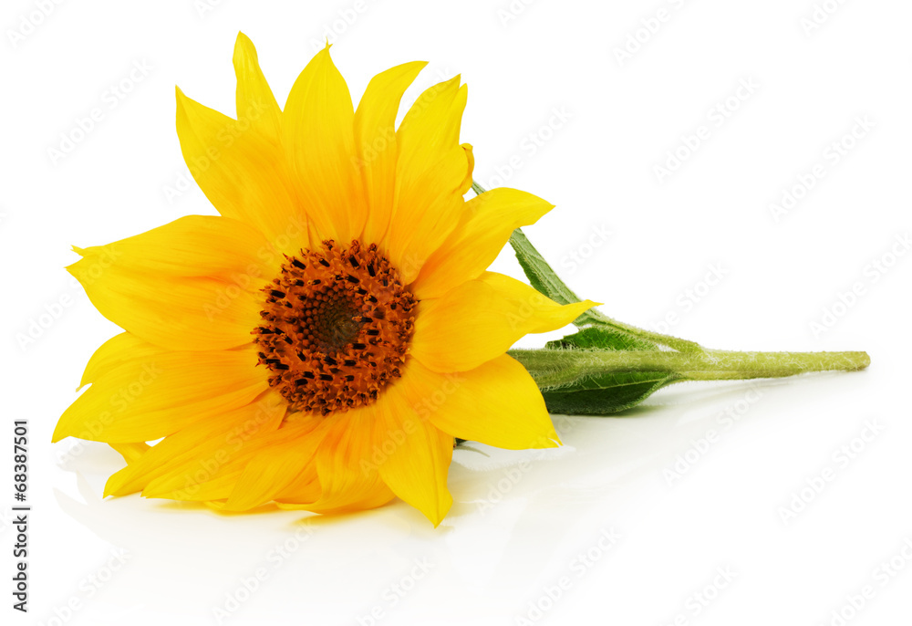 nice sunflower isolated on the white background
