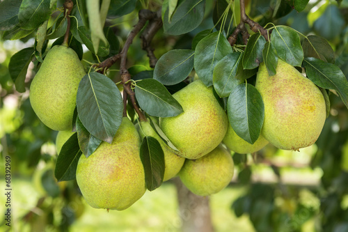 Fresh ripe pears on the pear tree Canvas Print