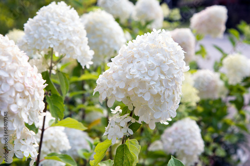 Spoed Foto op Canvas Hydrangea Hydrangea paniculata