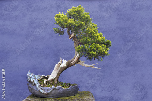 Poster Bonsai Bonsai tree Juniper China (Juniperus chinensis)